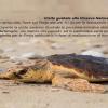San Benedetto del Tronto: rilascio di una tartaruga marina