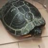Multato per mancanza di lampade alla sua tartaruga