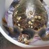 Grosso maschio di tartaruga marina salvata a Salerno