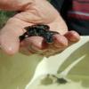 Un santuario per salvare le tartarughe del Murray?