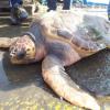 Tartaruga enorme salvata grazie ai pescatori e al Tartanet