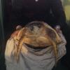 Tartaruga marina sul traghetto coi turisti veneziani
