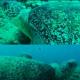 La tartaruga Stéphane torna a nuotare intorno alla sua isola