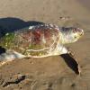 Quattro tartarughe marine senza vita tra Caserta e Salerno