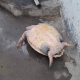 Tartarughe marine bracconate per poco più di 10 euro