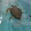 Capitaneria di Porto salva tartaruga marina a Piombino