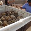 Contrabbandieri fermati con quasi 1900 tartarughe terrestri