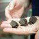 Identificato il gene che determina il sesso nelle tartarughe