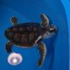 Due tartarughe marine ritornano in mare a Fasano (BR)