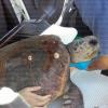 Morta la tartaruga recuperata ieri impigliata nelle reti