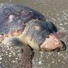 Carcassa di tartaruga marina su una spiaggia veneziana