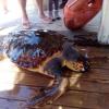 È morta la tartaruga marina recuperata sabato a Fiumicino
