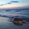 Grossa tartaruga marina spiaggiata morta a Barletta