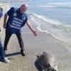 Tartaruga marina trovata senza vita a Manfredonia