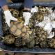 Sequestrate 330 rarissime tartarughe a Kuala Lumpur