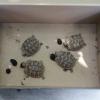 Sorpreso a vendere tartarughe senza documenti: denunciato