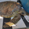 Morta nell'ambulanza la tartaruga soccorsa a Crotone
