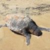 Tartaruga marina morta da tre giorni sulla spiaggia fasanese