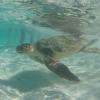 Liberazione in mare di una tartaruga ad Alghero