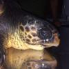 Torna in mare una tartaruga curata presso lo Zoomarine