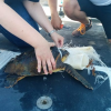Volontari WWF recuperano tartaruga avvolta dalla plastica