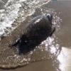 Carcassa spiaggiata a Salto di Fondi (LT)