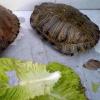 Due grosse tartarughe acquatiche gettate nell'immondizia