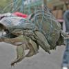 Trovato legame tra il colera e le tartarughe a guscio molle