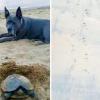 Cane trova raro nido di tartaruga dal dorso di diamante
