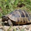 Furto di tartarughe terrestri ad una decina di Km da Como