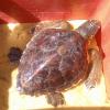 Tartaruga marina rilasciata dopo otto mesi di convalescenza