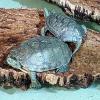 Affidate ad una onlus le tartarughe sequestrate a Genova