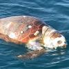 Non si fermano le morti di tartarughe sul litorale adriatico