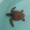 Due tartarughe marine rilasciate tra sabato e domenica