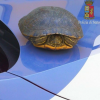 Tartaruga acquatica salvata sull'autostrada A11