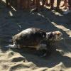 Due tartarughe ed un delfino morti in due giorni nel romano
