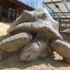 Tartaruga gigante scappa da uno zoo in Giappone