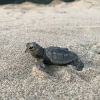 Nascita di tartarughe marine all'Oasi del Simeto, Catania