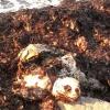 I resti di una tartaruga trovati su una spiaggia nel leccese
