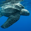 "Enorme tartaruga ""Liuto"" avvistata al largo di Trieste"