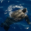 Tartaruga liuto di un metro e mezzo avvistata in Liguria