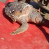 Silvi Marina: una tartaruga nuota a largo e una morta a riva
