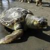 Grossa tartaruga marina spiaggiata senza vita a Salerno