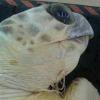 Tartaruga marina recuperata con un amo in gola nel Cilento