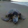 "Tartaruga spiaggiata morta ""molestata"" dai bagnanti curiosi"