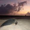 Australia: trasloco d'intere dune di sabbia per le tartarughe