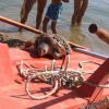 Altre tre tartarughe marine morte nelle Marche