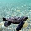 Già nate più di 300 tartarughe marine sulle coste calabresi