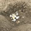 Il nubifragio fa rinvenire un nido di tartaruga in Toscana
