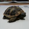 Cutro: denunciato per possesso di tartarughe senza CITES